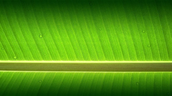 banana tree garden wallpaper