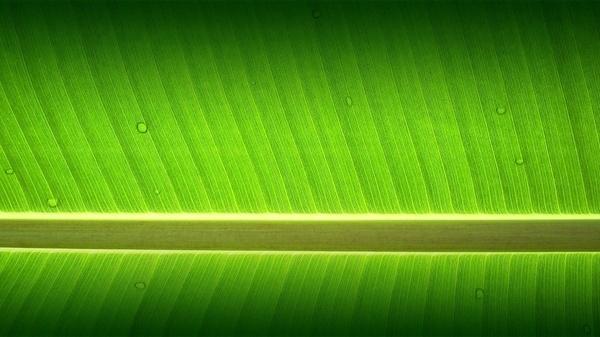 Banana Tree Garden Wallpaper