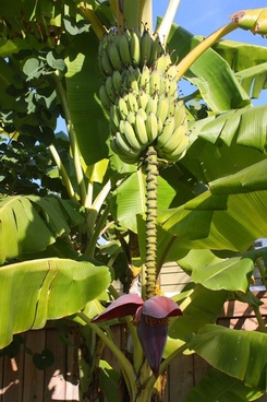 banana tree with fruit and blossom