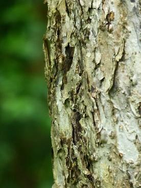 bark tree apple tree