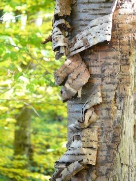 bark tree bark cherry