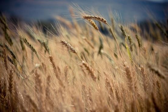 barley beach crop dunes field gold golden grain