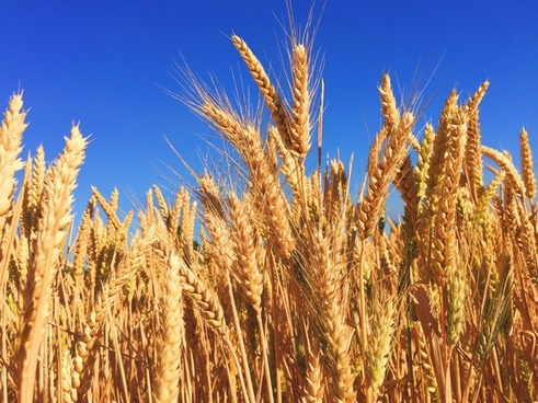 barley bread cereal corn country crop ear farm