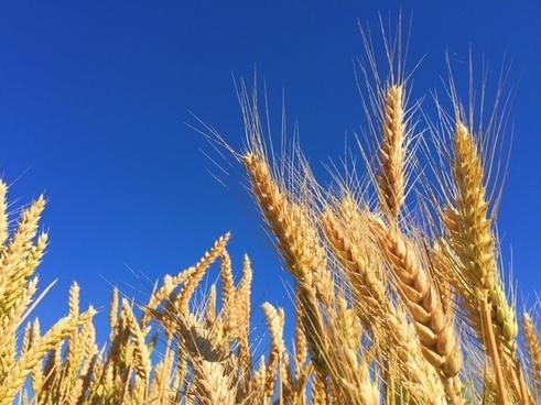 barley bread cereal corn countryside crop farm