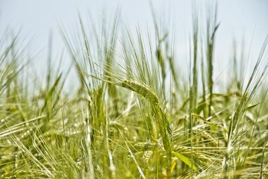 barley bread cereal countryside crop detail farmland