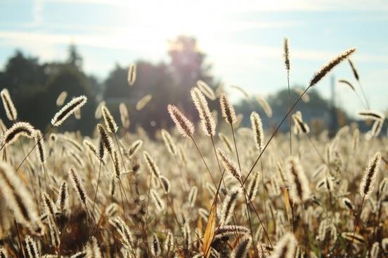 barley corn countryside dry farmland field gold