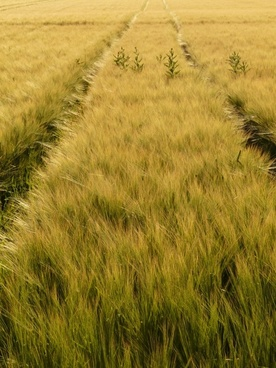 barley field away lane