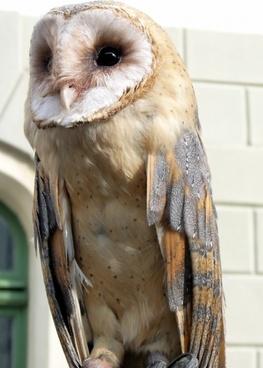 barn owl bird animal
