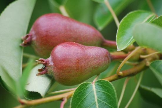 bartlett pear jmnhs 6 3 11