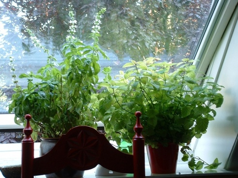 basil and lemon balm