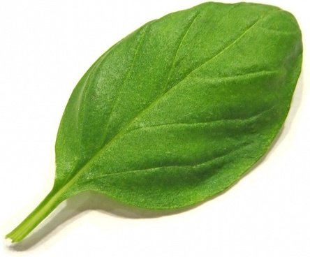 basil spice herbs