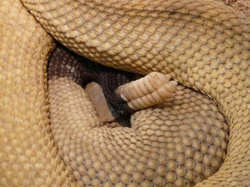 basilisk rattlesnake rattlesnake snake