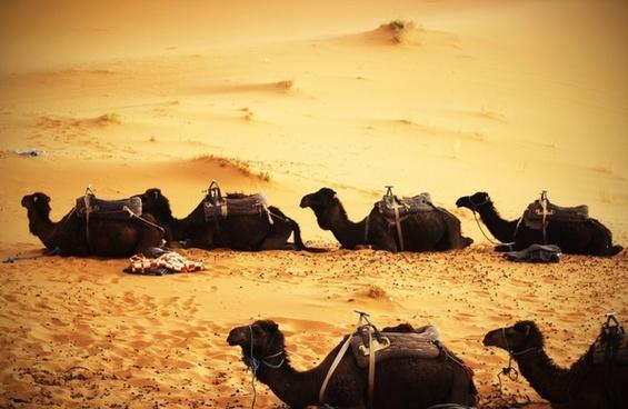 beach camel caravan desert dry fish fisherman group