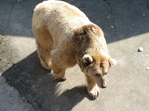 bear animal wilderness