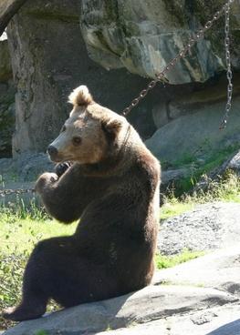 bear brown bear sit