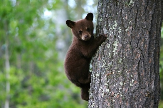 bear cub tree