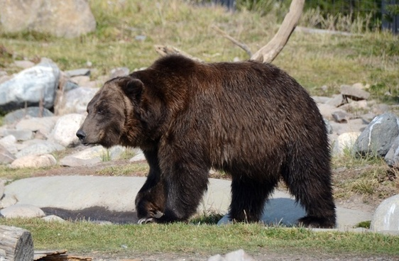 bear grizzly grizzly bear