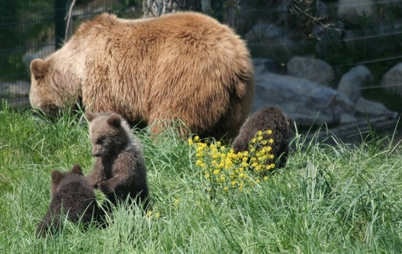 bear pets brown bear