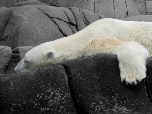 bear polar bear pets