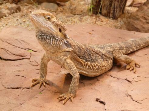 bearded dragon farbbartagame schuppenkriechtier