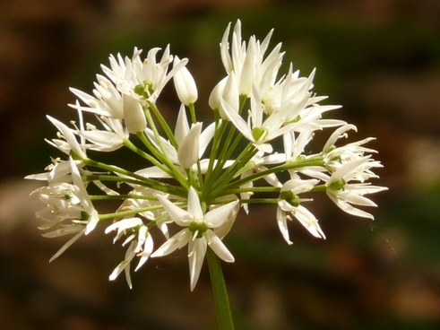 bear's garlic flower plant