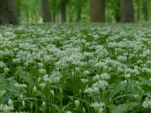 bear's garlic flowers white