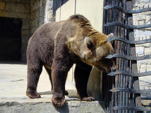bears polar bear bear