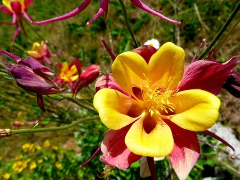 beautiful akelei columbine