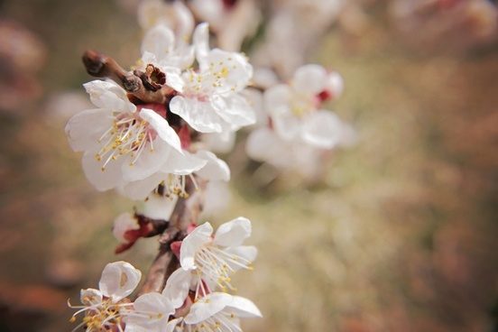 beautiful bee bloom blossom branch cherry delicate
