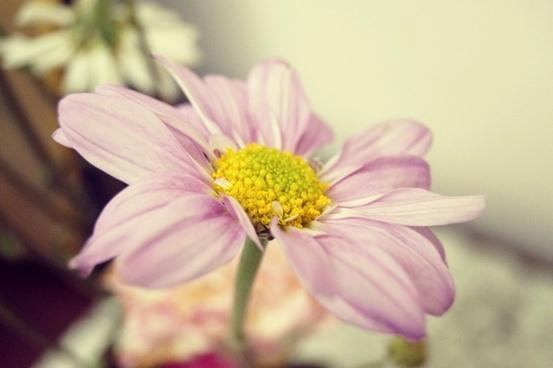beautiful bloom blossom bright closeup color cosmos