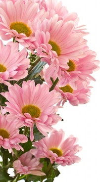 beautiful chrysanthemum 03 hd pictures