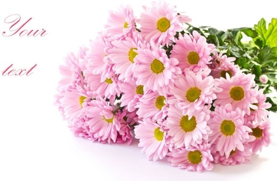 beautiful chrysanthemum 04 hd pictures