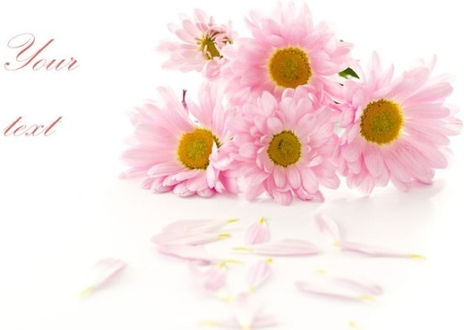 beautiful chrysanthemum 05 hd pictures