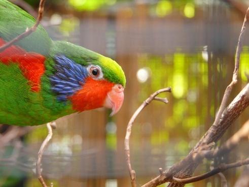 beautiful lorikeet parrot charmosyna placentis