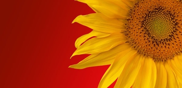 beautiful sunflower hd picture