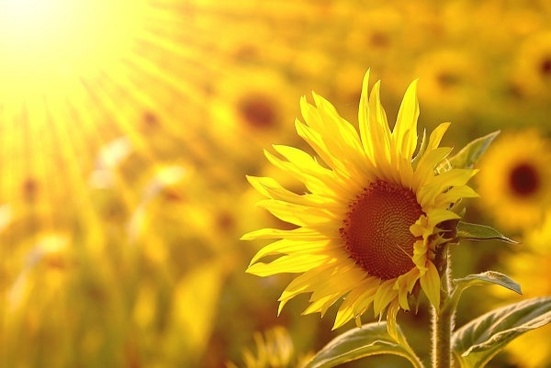 beautiful sunflower hd picture 3