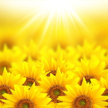 beautiful sunflower hd picture 4