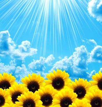 beautiful sunflower highdefinition picture