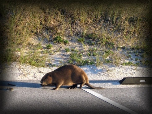 beaver animal wildlife