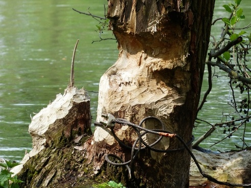 beaver eating beaver damage beaver