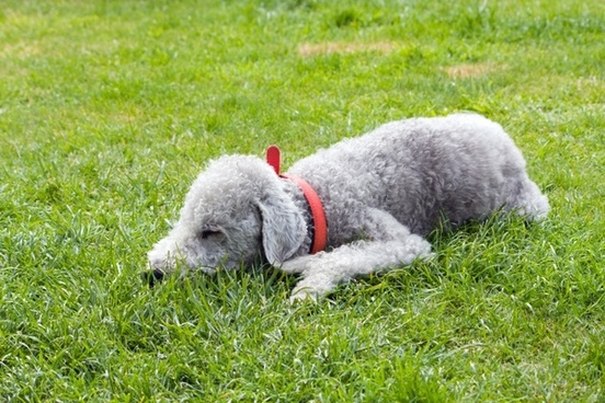 bedlington terrier dog pet