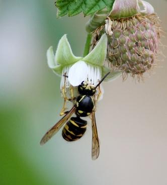 bee bumblebee wasp