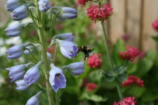 bee in flight by delphinium