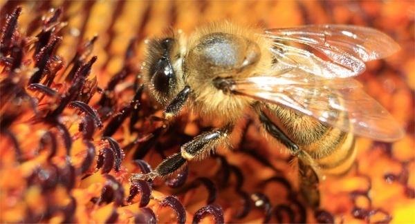 bee macro sun flower