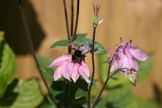 bee on aquilegia plant