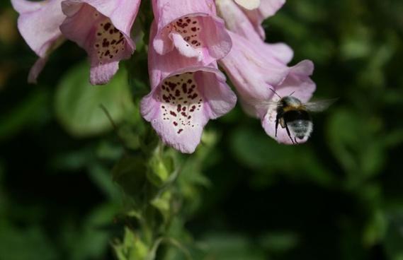bee on foxglove flower