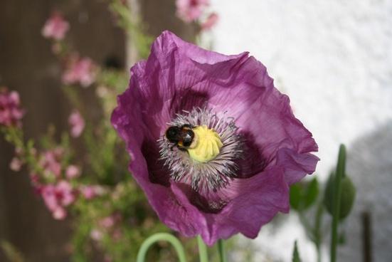 bee on purple poppy flower