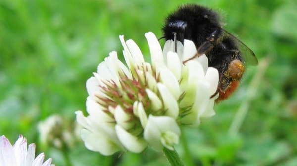 bee on then clover