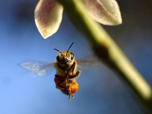 bee pollen wing
