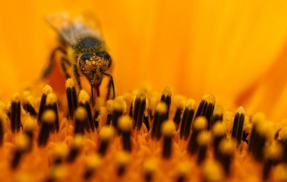 bee sun flower macro